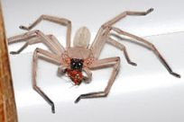 250pxHuntsmanspiderwithmeal0